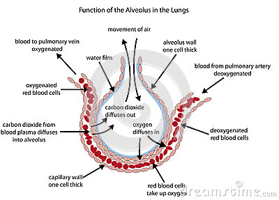 Labelled diagram of the alveolus in the lungs Vector Illustration