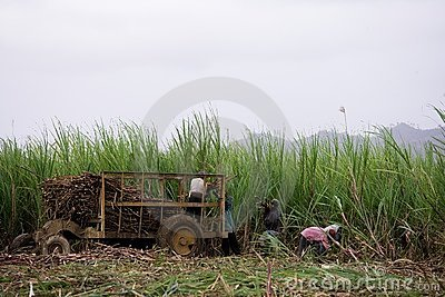 Labour of sugar cane