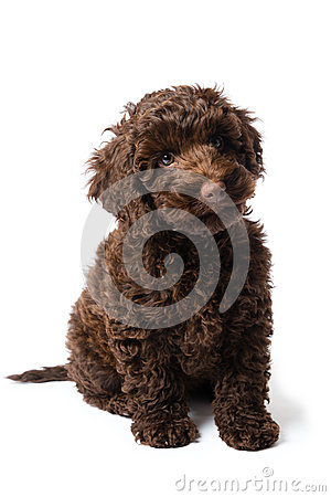 Free Labradoodle Mini Puppy Royalty Free Stock Photo - 52694455