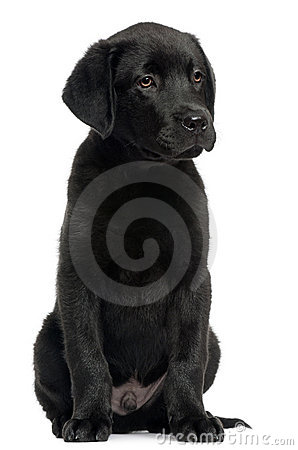 Labrador, 12 weeks old, sitting