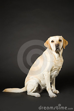 Free Labrador Stock Images - 12386664
