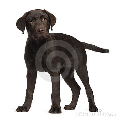 Labrador, 3 months old, standing