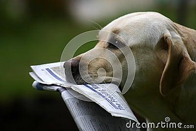 Labrador avec des nouvelles