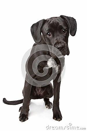 Labrador/Boxer mix