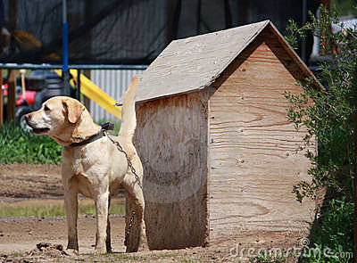 Labrador on chain stock photo image 19747250 for Dog house for labrador retriever