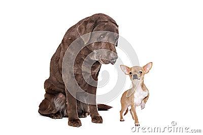 Labrador and Chihuahua