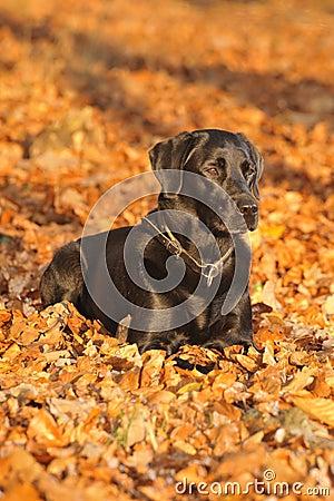 Free Labrador Dog Royalty Free Stock Photos - 7092048