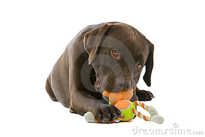 Labrador dog chewing toy