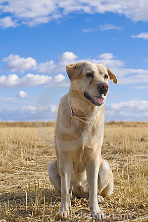 Labrador Dog in a Rural Landscape.