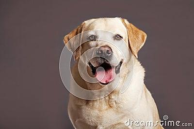 Labrador Dog Studio Portrsit