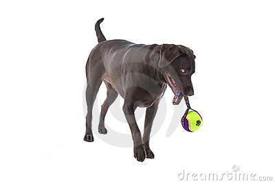 Labrador dog with toy