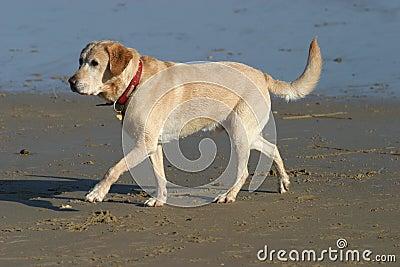 Labrador dog walking on Beach