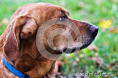 Labrador/Golden Retriever mix