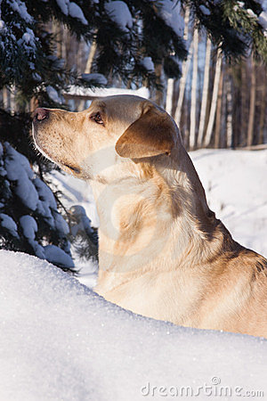 Labrador hunting in a winter snow