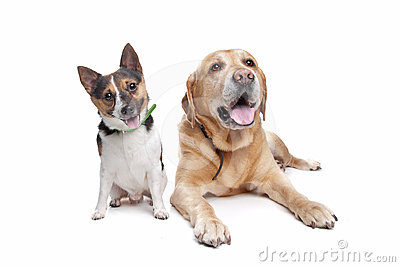 Labrador and jack russel terrier