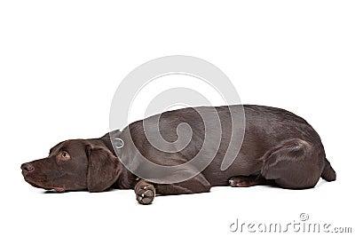 Labrador,Munsterlander