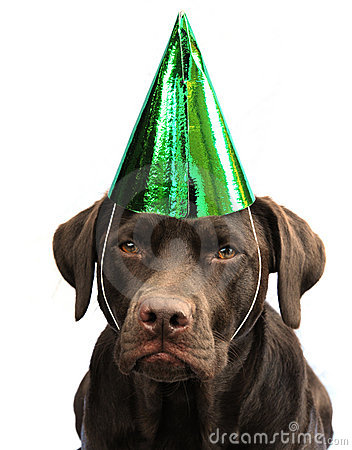 Labrador in party hat