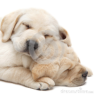 Free Labrador Puppies Sleeping Royalty Free Stock Image - 31525496