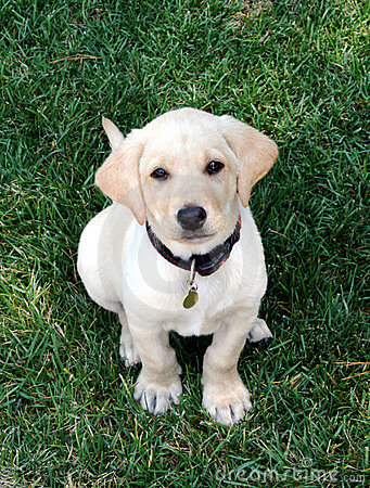 Free Labrador Puppy Stock Photos - 5857333