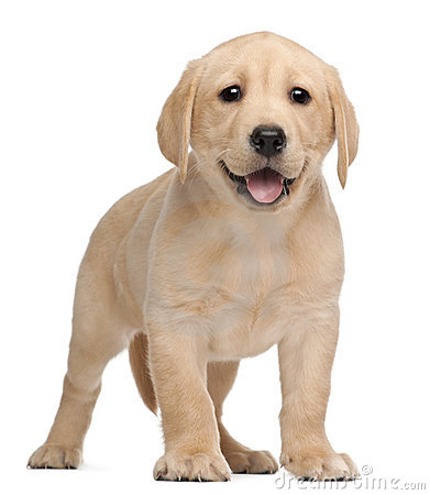 Lab Puppy Clip Art labrador puppy portrait stock photos, images ...
