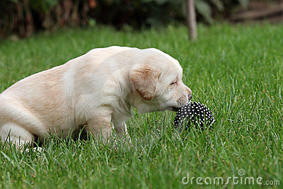 Labrador puppy with a ball