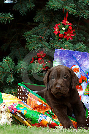 Free Labrador Puppy - Gift Stock Image - 1294301