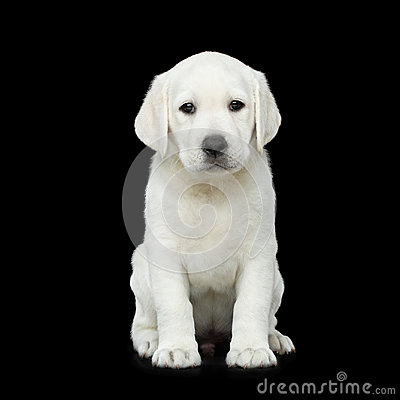 Free Labrador Puppy  On Black Background Royalty Free Stock Photos - 94732078