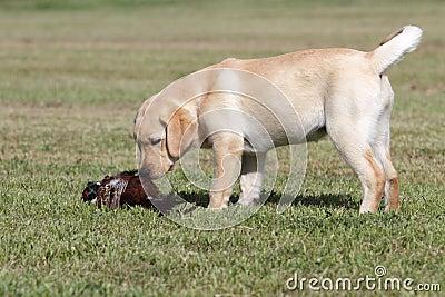 Labrador puppy with pheasant