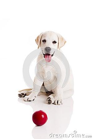 Free Labrador Puppy Playing Royalty Free Stock Photos - 18218788