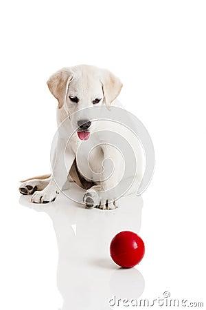 Free Labrador Puppy Playing Royalty Free Stock Image - 21207506