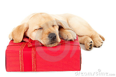 Labrador puppy sleeping on a present