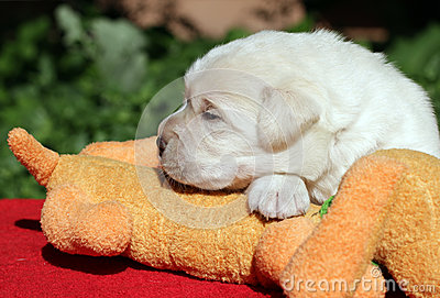 Labrador puppy with toy