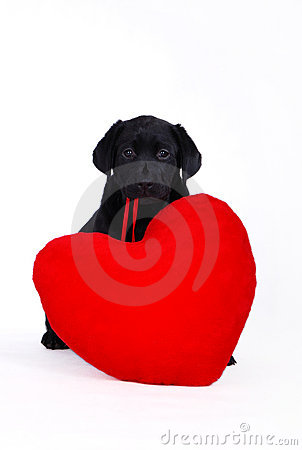 Free Labrador Puppy With Red Heart Stock Images - 1808784