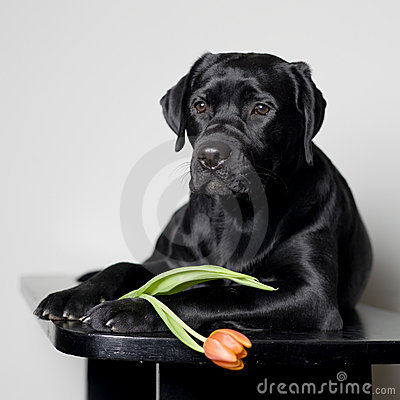 Free Labrador Puppy With Tulip Flower Royalty Free Stock Photography - 13074457