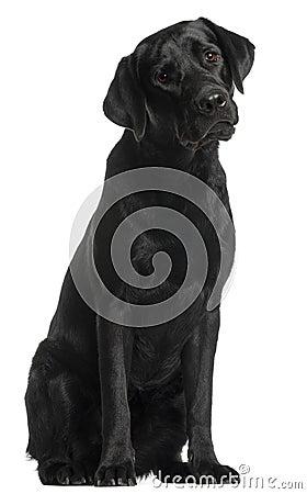 Free Labrador Retriever, 10 Months Old, Sitting Stock Photo - 20377260