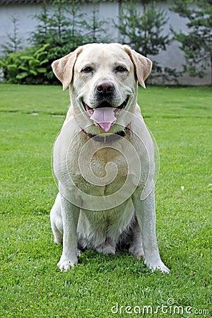 Free Labrador Retriever Stock Photo - 10543040