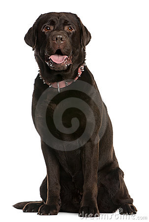 Labrador Retriever, 4 years old, sitting