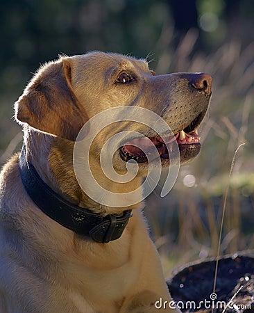 Free Labrador Retriever Stock Photography - 6325322