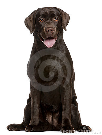 Free Labrador Retriever, 7 Months Old, Sitting Stock Images - 17125354