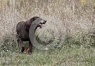 Labrador retriever del chocolate