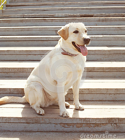 Labrador retriever dog sitting in the city stock photo for Dog day sitting