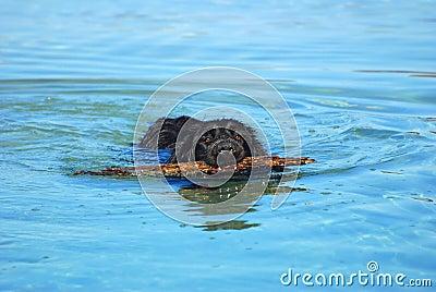 Labrador Retriever dog swimming