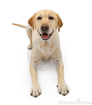 Free Labrador Retriever Dog With Happy Face Stock Photo - 17768800