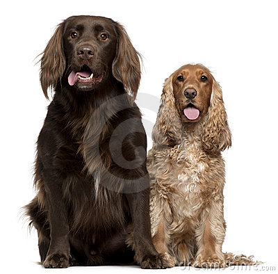 Labrador Retriever and English Cocker Spaniel