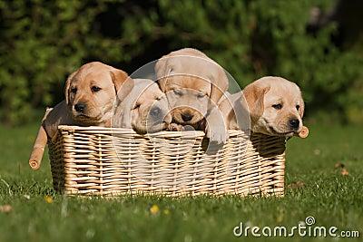 Labrador Retriever puppies in a basket