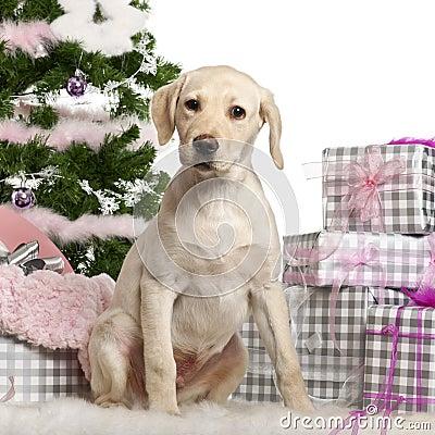 Labrador Retriever puppy, 3 months old, sitting