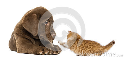 Labrador Retriever Puppy lying and looking at a playful kitten