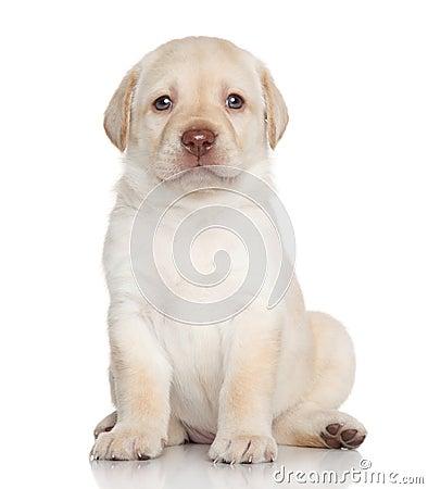 Free Labrador Retriever Puppy Portrait Stock Photo - 41172680