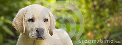 Labrador retriever puppy in the yard banner