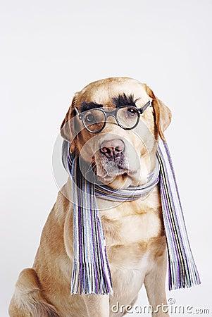 Labrador  retriever sitting in a scarf